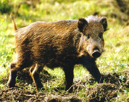 http://www.tatry.info/przyroda/images/dzik.jpg